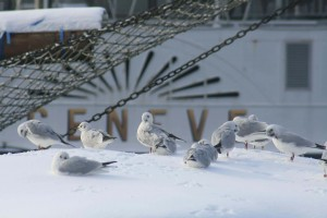 mouette_cgn_neige